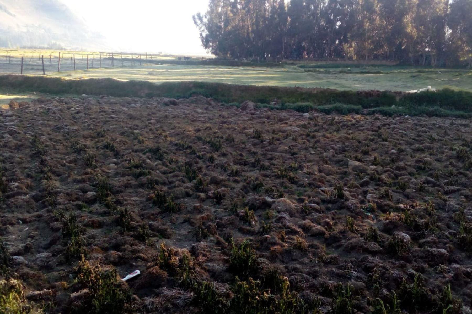 Junín pide ser declarada en emergencia por daños causados por las heladas en el sector agrícola. ANDINA/Pedro Tinoco