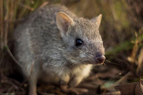 Imagen facilitada por WWF de un ejemplar de bettong del norte, conocido en Australia como la rata canguro Foto:EFE
