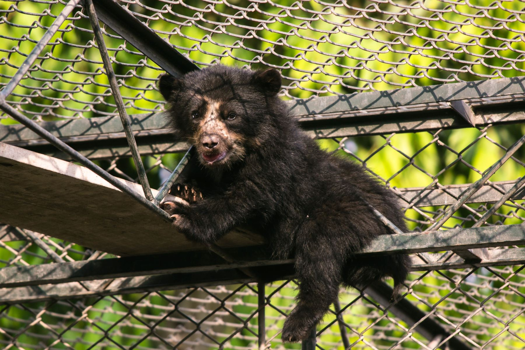 Serfor rescató a un oso de anteojos de ocho meses, que permanecía amarrado a un árbol de eucalipto en Huancayo.
