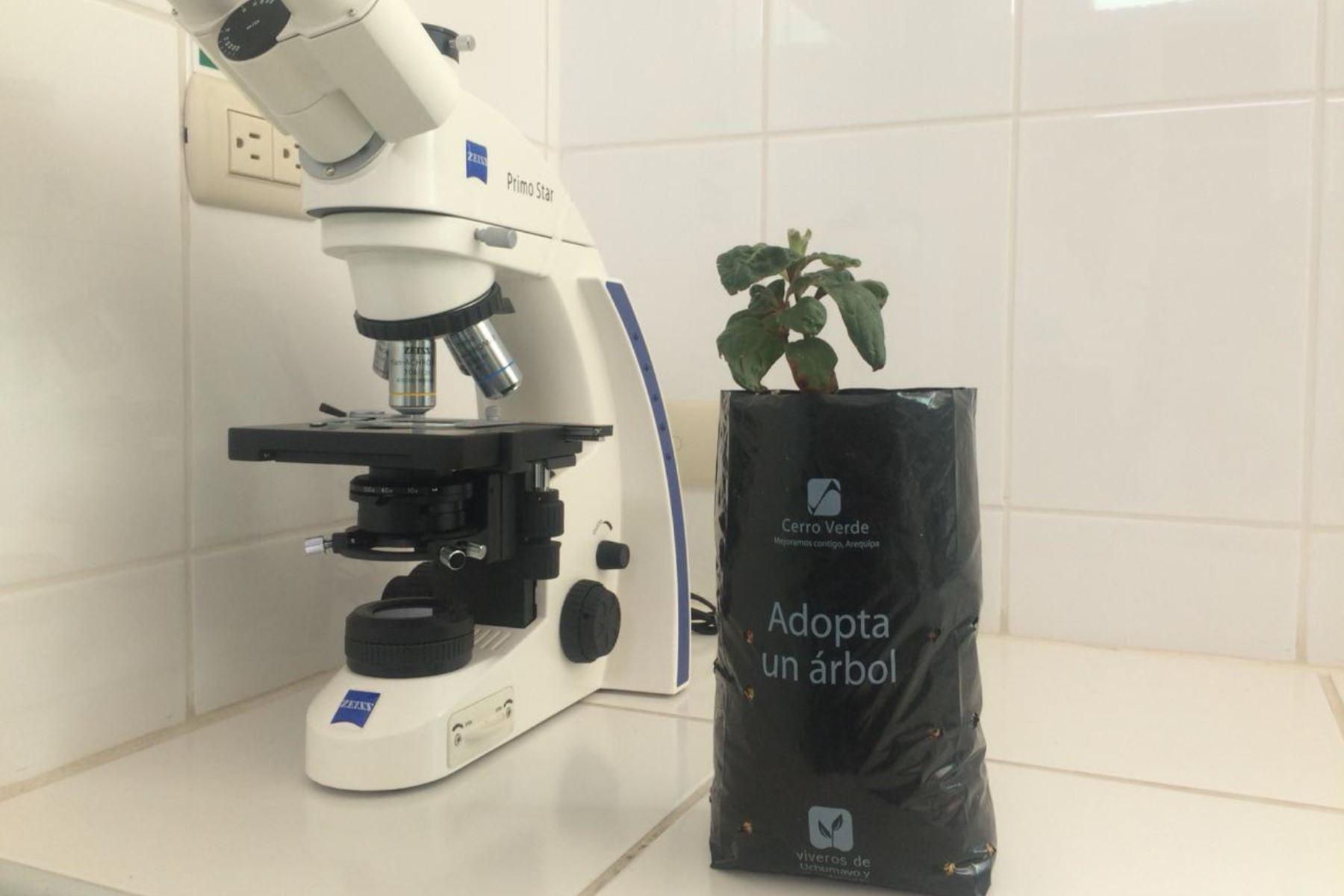 Árbol de la quina de la especie Cinchona officinalis ahora puede ser expuesta al clima arequipeño sin temor a ser afectada, gracias a investigaciones.