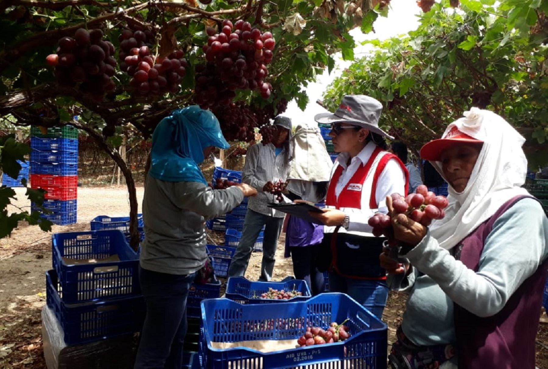 Operativo Sunafil agroindustria. Foto: Cortesía.