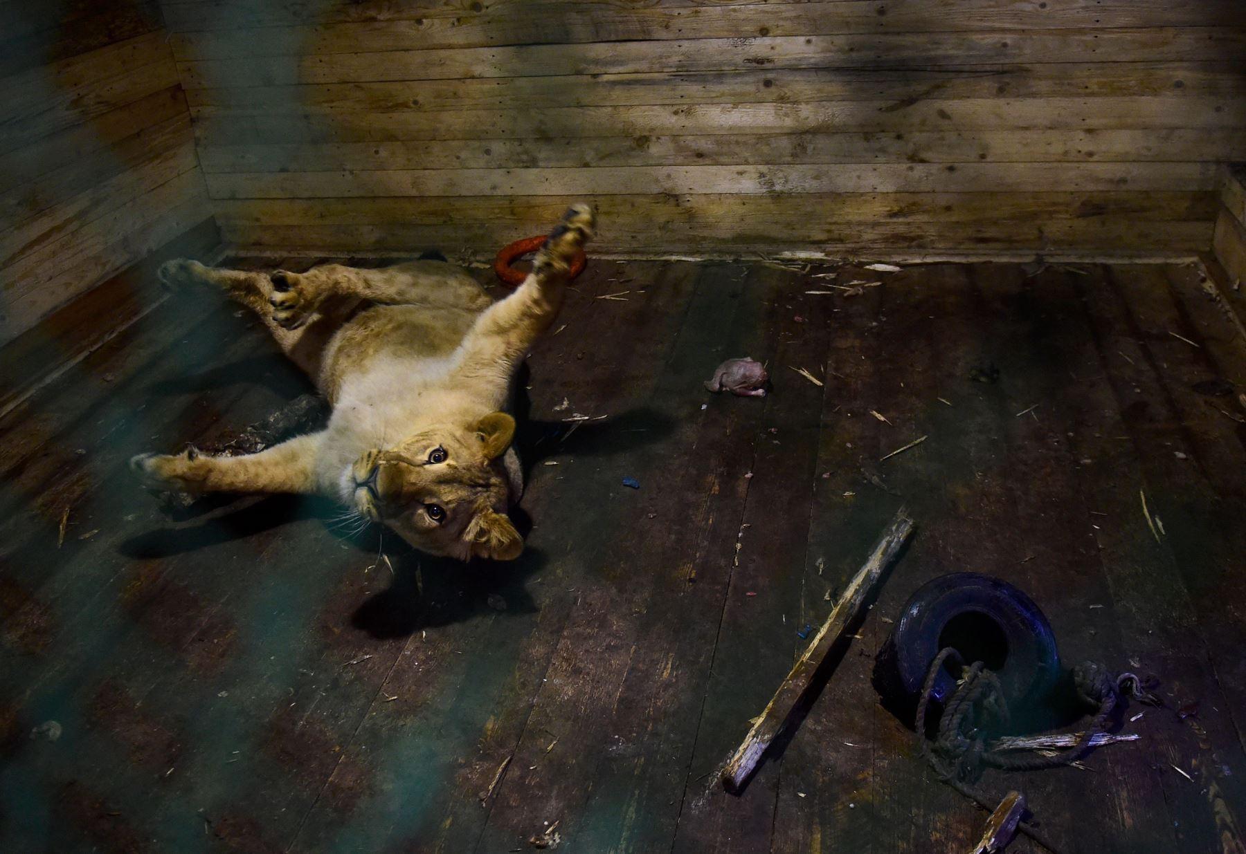 Un león hace gestos en su jaula en Veles, un refugio para animales salvajes en el pueblo de Rappolovo, en las afueras de San Petersburgo Foto: AFP