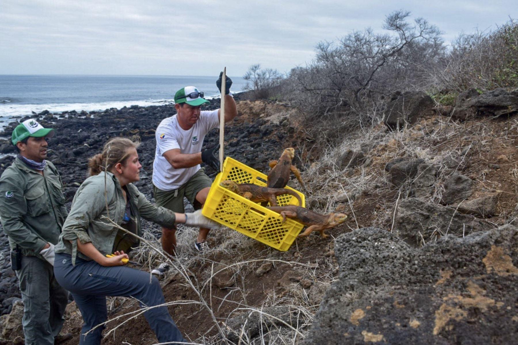 Un grupo de 1,436 iguanas de la subespecie Conolophus subcristatus, de la isla Seymour Norte, que se introdujo en la isla de Santiago Foto: AFP
