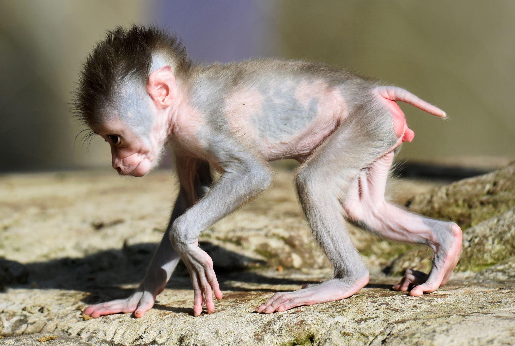 Shari, una joven primate de tres semanas camina en el recinto exterior del zoológico Hellabrunn en Munich, Alemania.  Los monos taladrados se encuentran entre las especies de primates más amenazadas del mundo. El padre de Shari es Bakut, jefe de Hellabrunn Drill Group. Foto: AFP