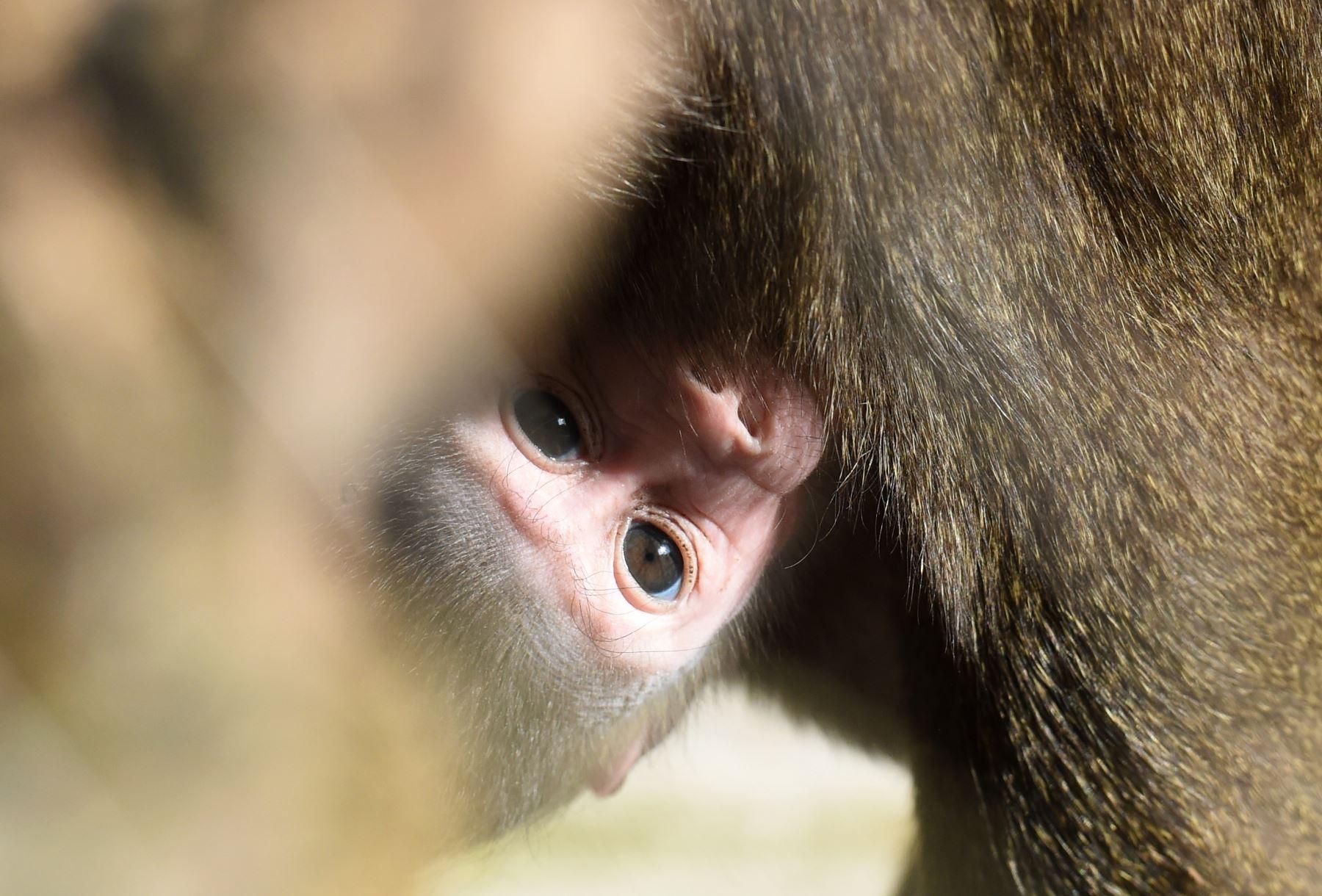 Las tres semanas de la joven  Shari se aferran a su madre Kaduna en el recinto del zoológico Hellabrunn en Munich. AFP