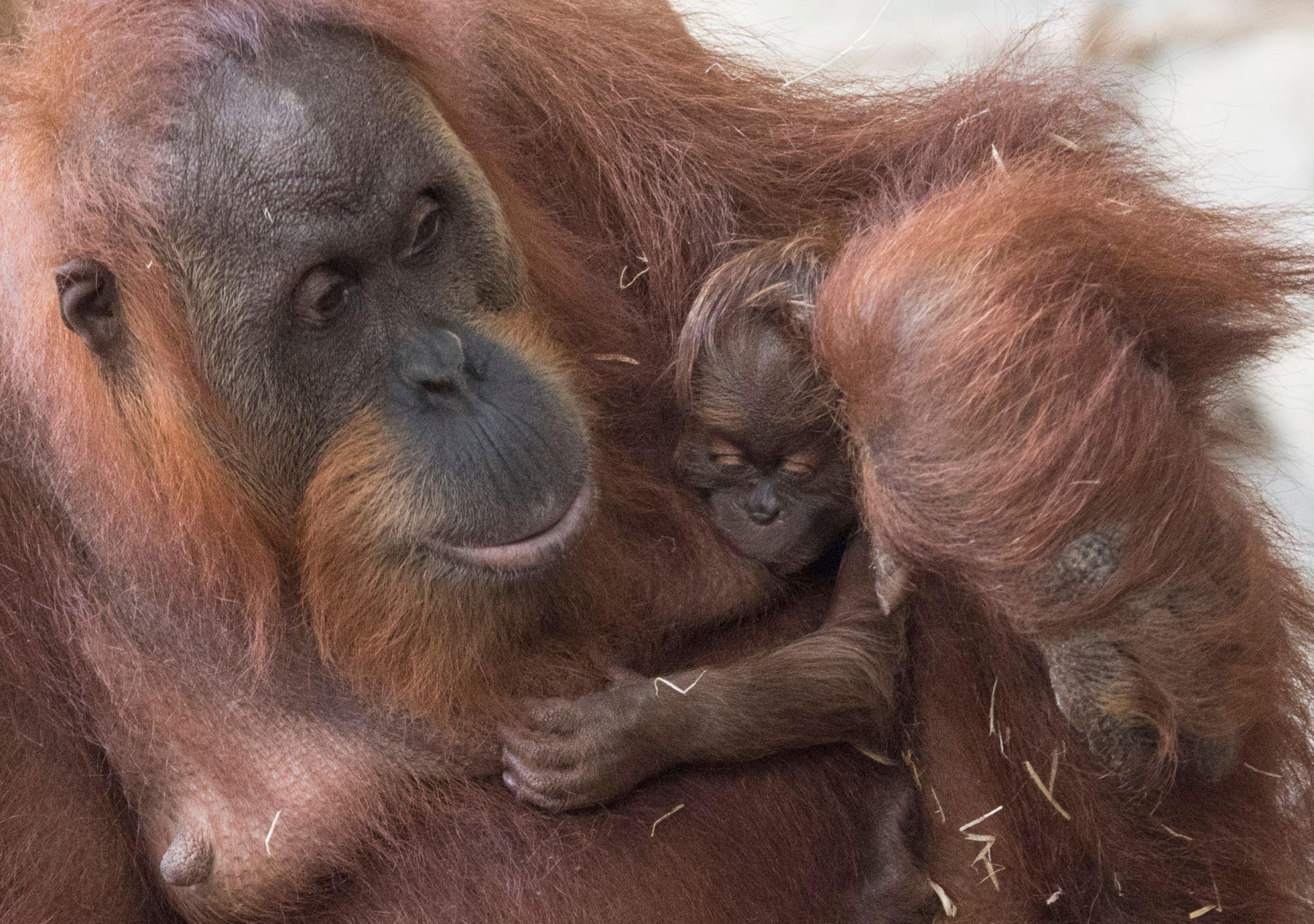 """Un orangután llamado """"Rosa"""" con su recién nacida en el zoológico de Frankfurt, Alemania occidental. AFP"""