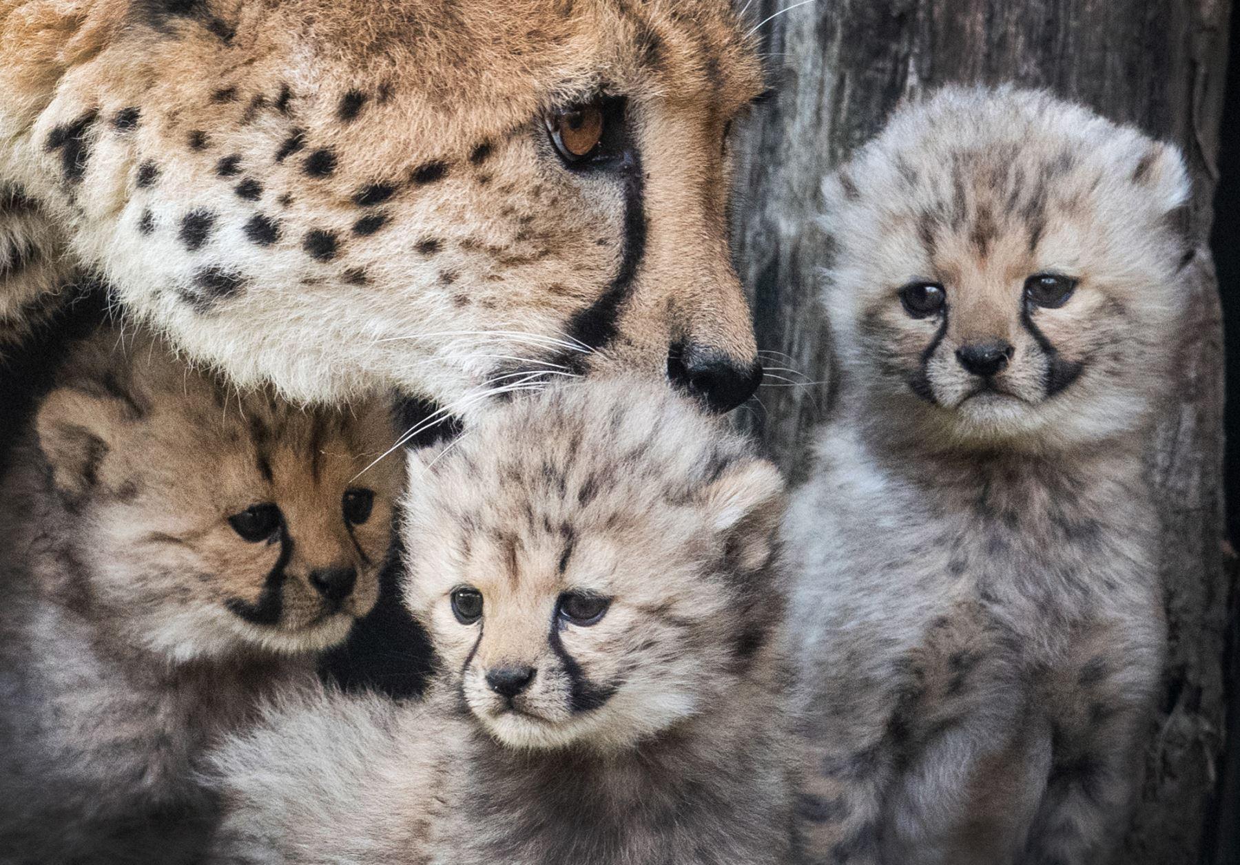 """La madre de los guepardos """"Isantya"""" se encuentra junto a sus tres bebés en el zoológico de Muenster, en el oeste de Alemania. AFP"""