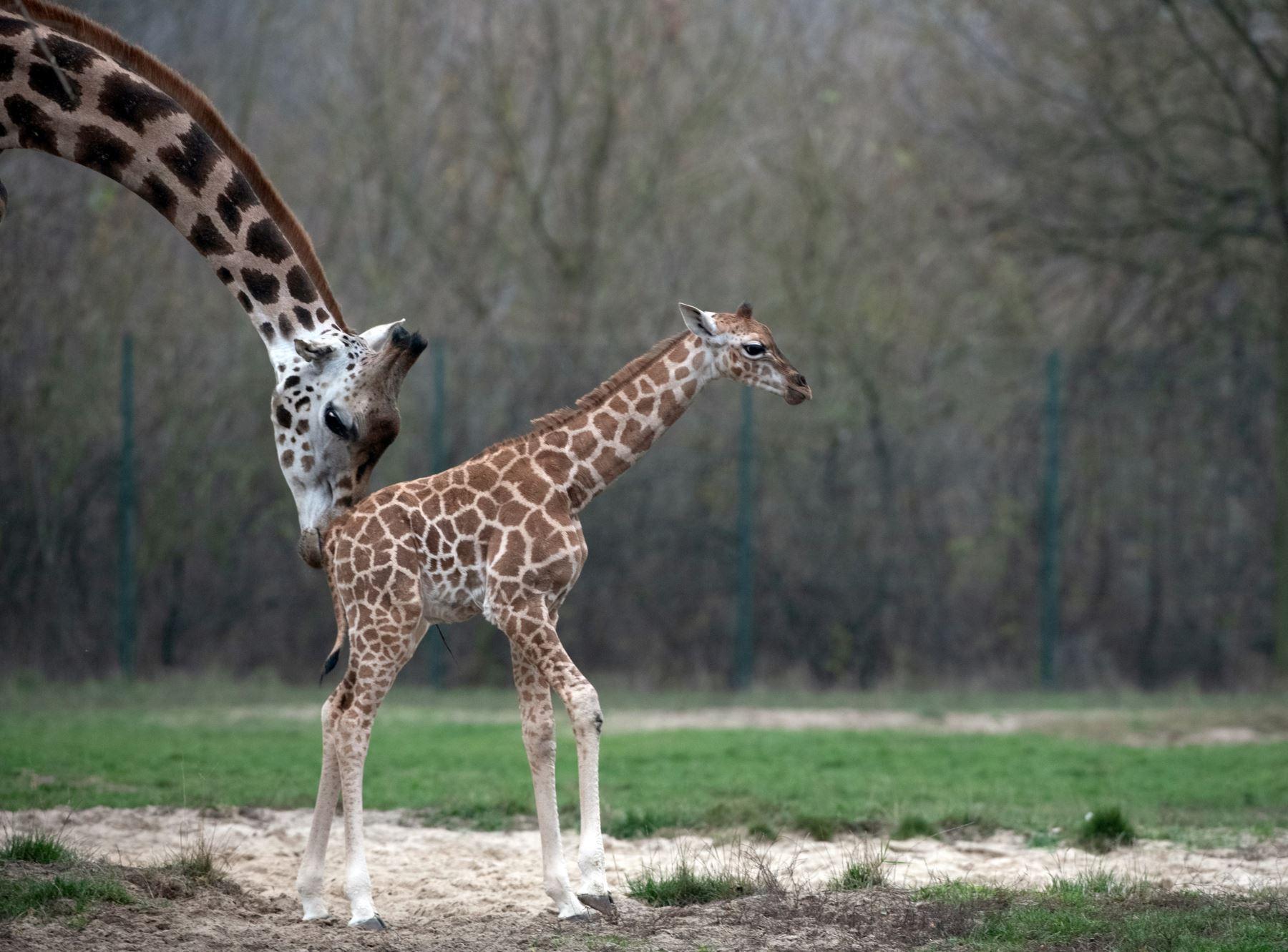 Jirafa recién nacida Ella y a su madre Amalka en su recinto en el zoológico Tierpark de Berlín.  AFP