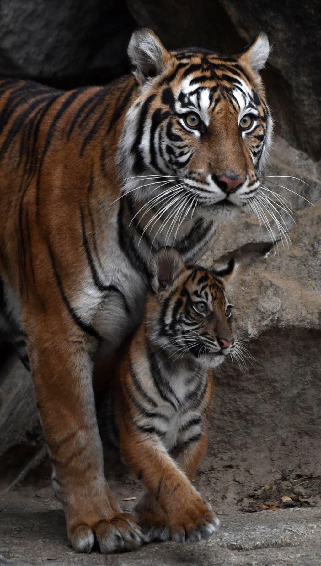 Una de las cuatro crías de tigre de Sumatra hembra Mayang aparece en su recinto en el zoológico Tierpark de Berlín. Mayang dio a luz a cuatro crías, dos machos, dos hembras, llamadas Willi, Oscar, Seri y Kiara. El tigre de Sumatra es una subespecie de tigre rara que habita en la isla indonesia de Sumatra y se clasifica como en peligro crítico con entre 350 y 450 individuos restantes. AFP