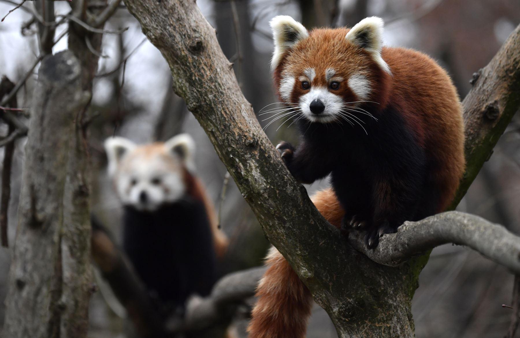 Dos pandas rojos trepan a los árboles en su recinto en el zoológico Tierpark de Berlín. El panda rojo, originario del Himalaya oriental y el sudoeste de China, se encuentra en la Lista Roja de la UICN como En Peligro de Extinción, ya que la población silvestre se estima en menos Más de 10.000 individuos maduros y continúa disminuyendo debido a la pérdida y fragmentación del hábitat, la caza furtiva y la depresión por endogamia. AFP