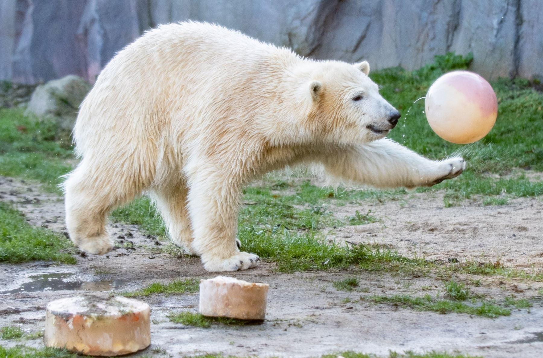 """El oso polar """"Nanook"""" juega con una pelota durante su primer cumpleaños  en el zoológico de Gelsenkirchen, en el oeste de Alemania. AFP"""