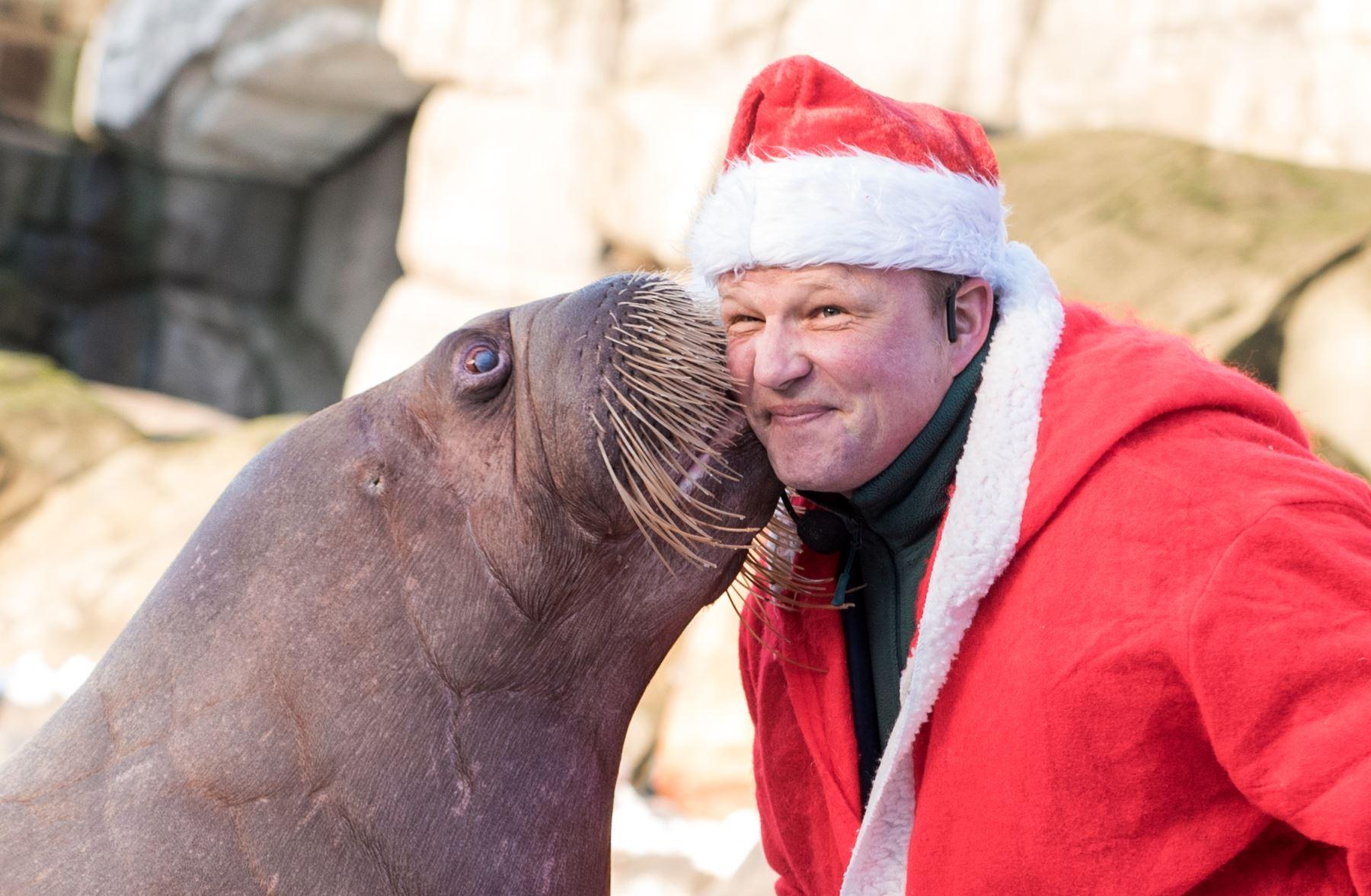 """El cuidador de animales Dirk Stutzki vestido como Papá Noel es """"besado"""" por una morsa en el zoológico Hagenbecks Tierpark en Hamburgo, norte de Alemania. AFP"""