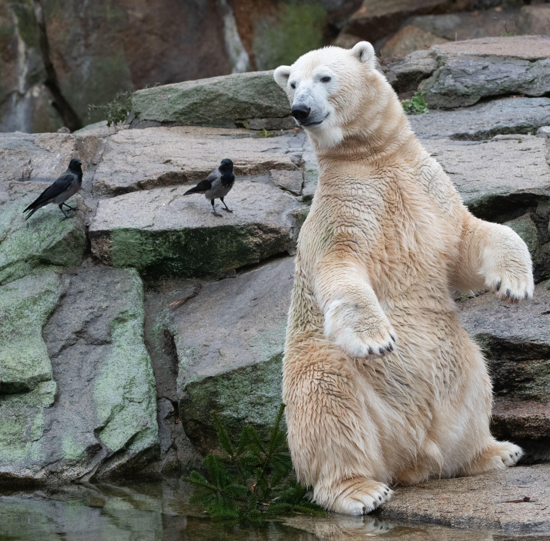 El oso polar Wolodja mira a dos cuervos encapuchados en el zoológico Zoologischer Garten en Berlín. AFP