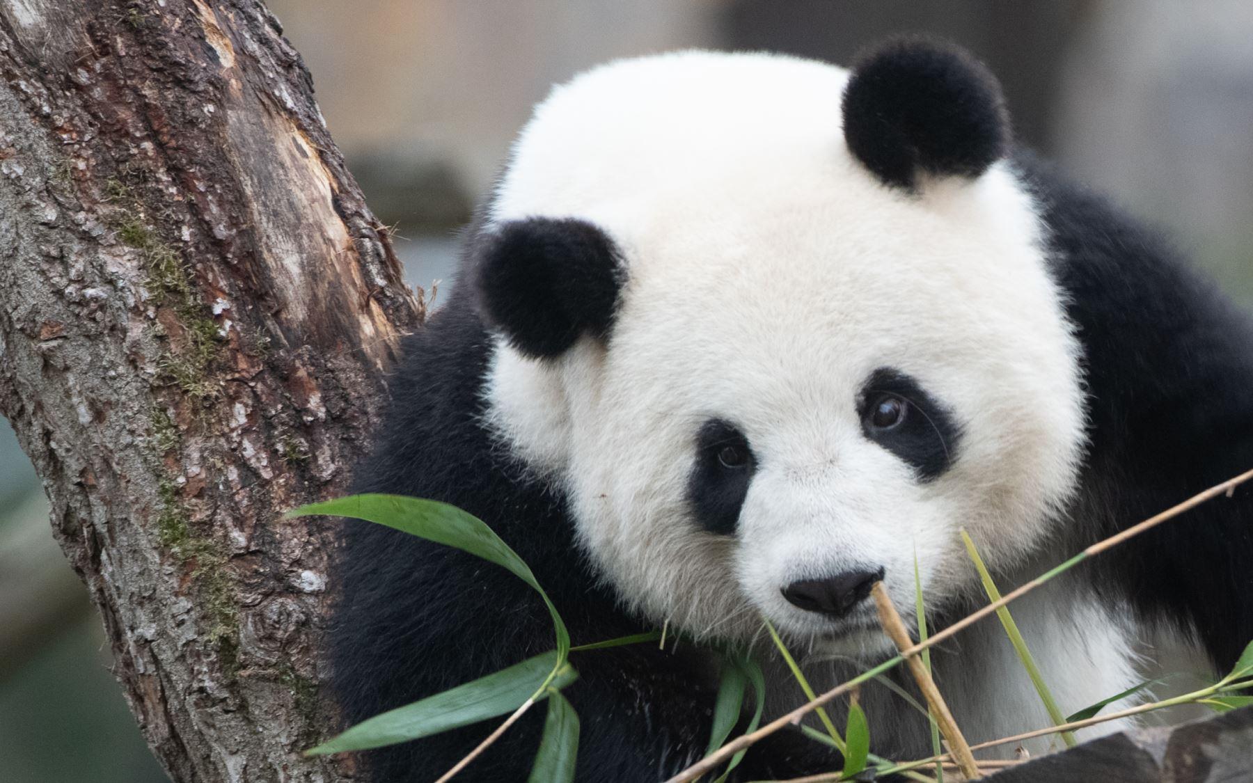 El panda Meng Meng observa a los visitantes en el zoológico Zoologischer Garten en Berlín. AFP