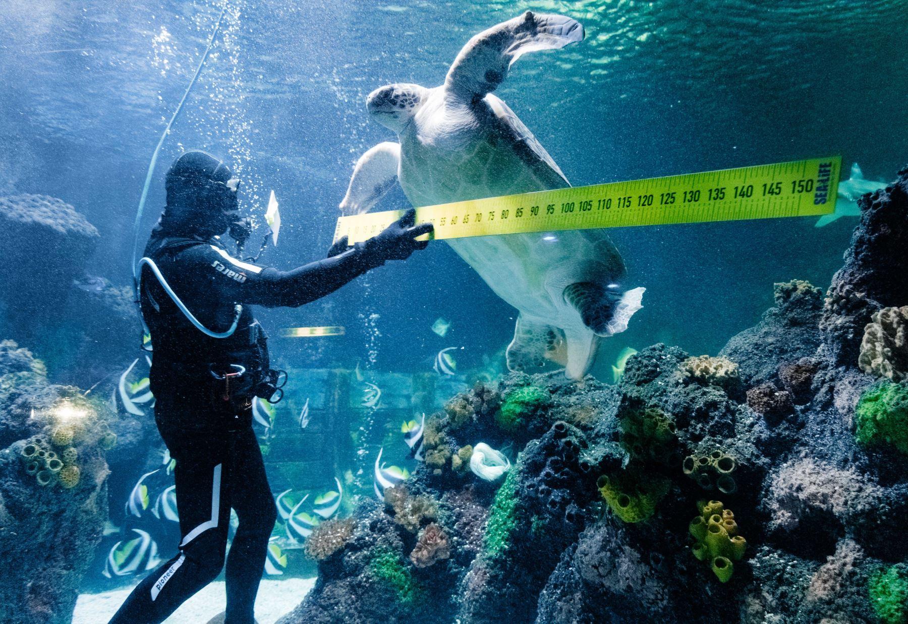 """El buzo Oliver Volz mide la tortuga marina """"Speedy"""" durante una toma anual en el acuario de SeaLife en Timmendorfer Strand, en el norte de Alemania. AFP"""