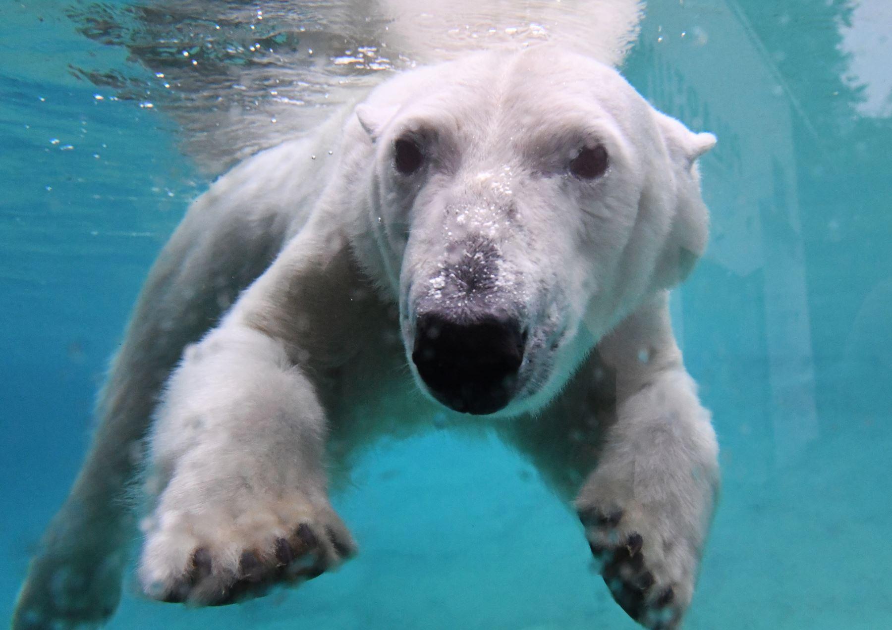 """El oso polar Noria nada en su piscina de la nueva sección """"Polarium"""" en el zoológico de Rostock, en el noreste de Alemania.. AFP"""