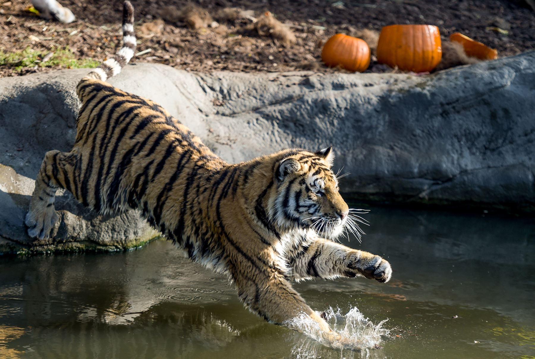 Un tigre siberiano salta en su piscina para alcanzar una calabaza rellena de carne en el zoológico Tierpark Hagenbeck en Hamburgo, en el norte de Alemania. AFP