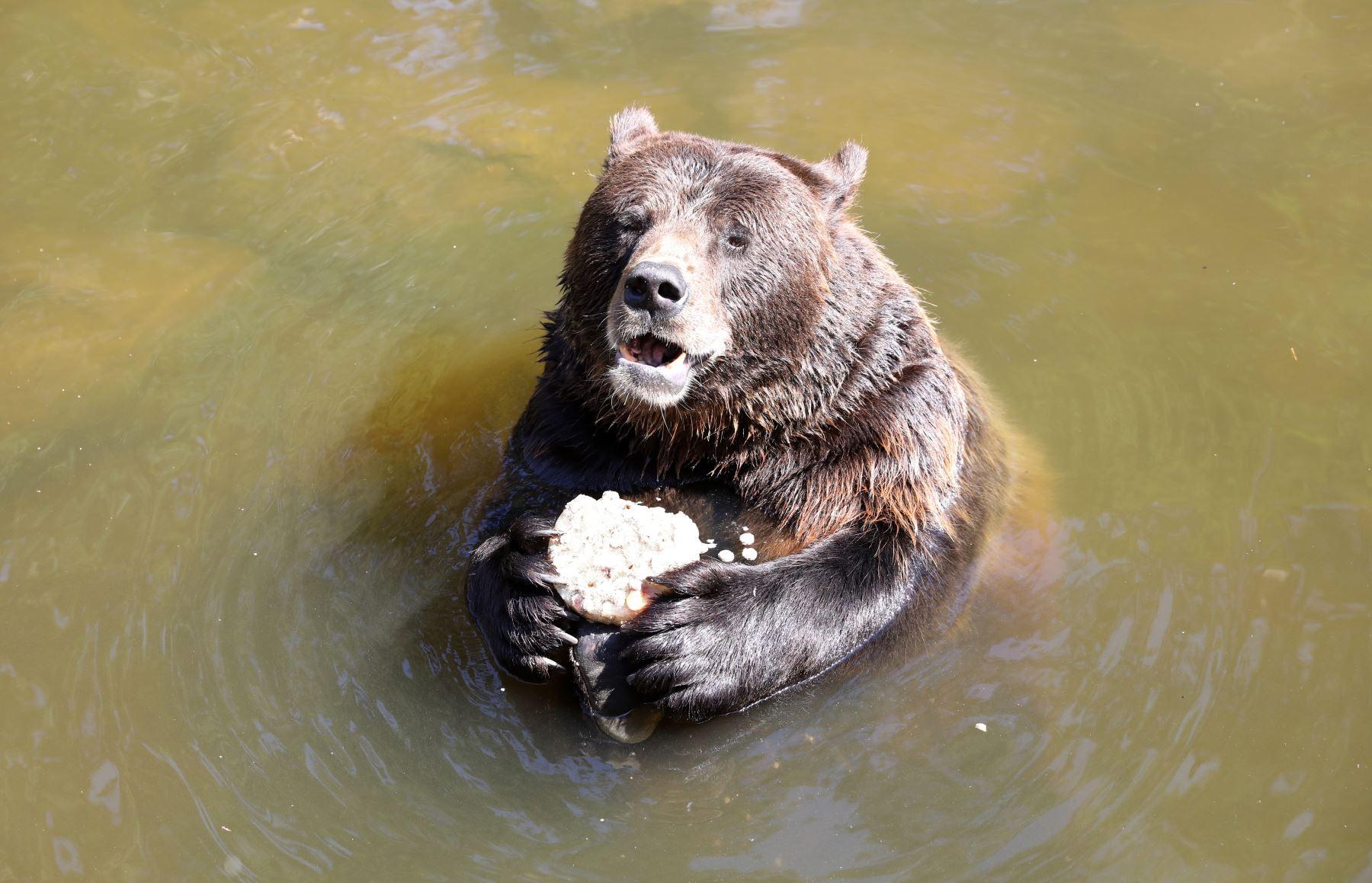 El oso pardo Fred disfruta de una torta de hielo mientras toma un baño en el parque de vida silvestre en Guestrow, en el noreste de Alemania. AFP
