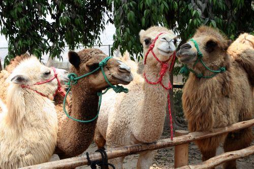 Zoológico de Huachipa presenta a sus nuevos camellos
