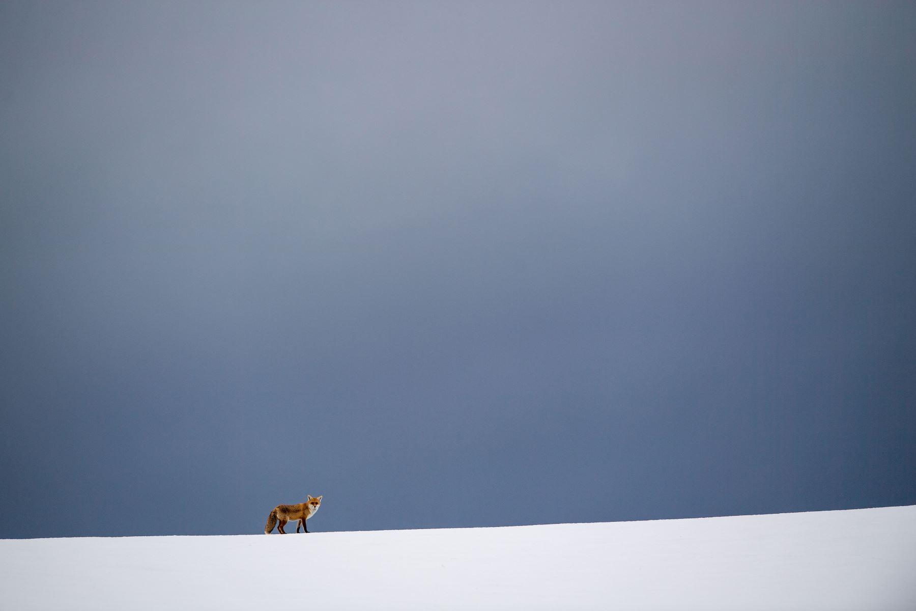 Un zorro aparece en un campo cubierto de nieve en Erkenbollingen, en el sur de Alemania, cuando está nublado. Foto: AFP/dpa/ Lino Mirgeler