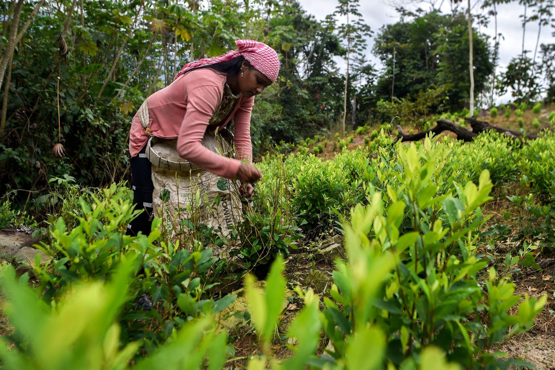 """Una migrante venezolana que trabaja como """"raspachín"""" recolecta hojas de coca en la jungla de Catatumbo, Colombia. Foto: AFP."""