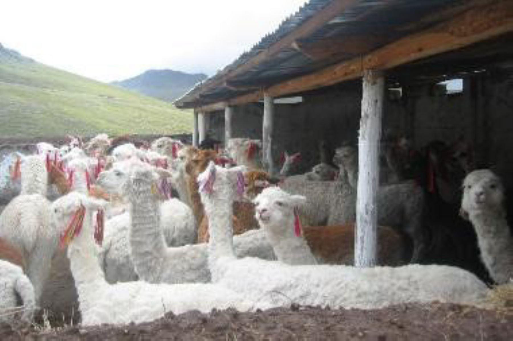 El Ministerio de Agricultura y Riego pone en marcha plan para proteger el ganado ante próxima temporada de heladas. ANDINA/Difusión