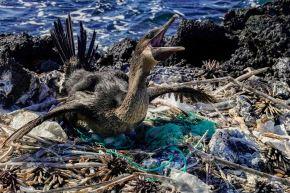 Un cormorán no volador (Nannopterum harrisi) se sienta en su nido rodeado de basura en la costa de la Isla Isabela en el archipiélago de las Galápagos en el Océano Pacífico, a 1000 km de la costa de Ecuador, el 21 de febrero de 2019. Foto: AFP