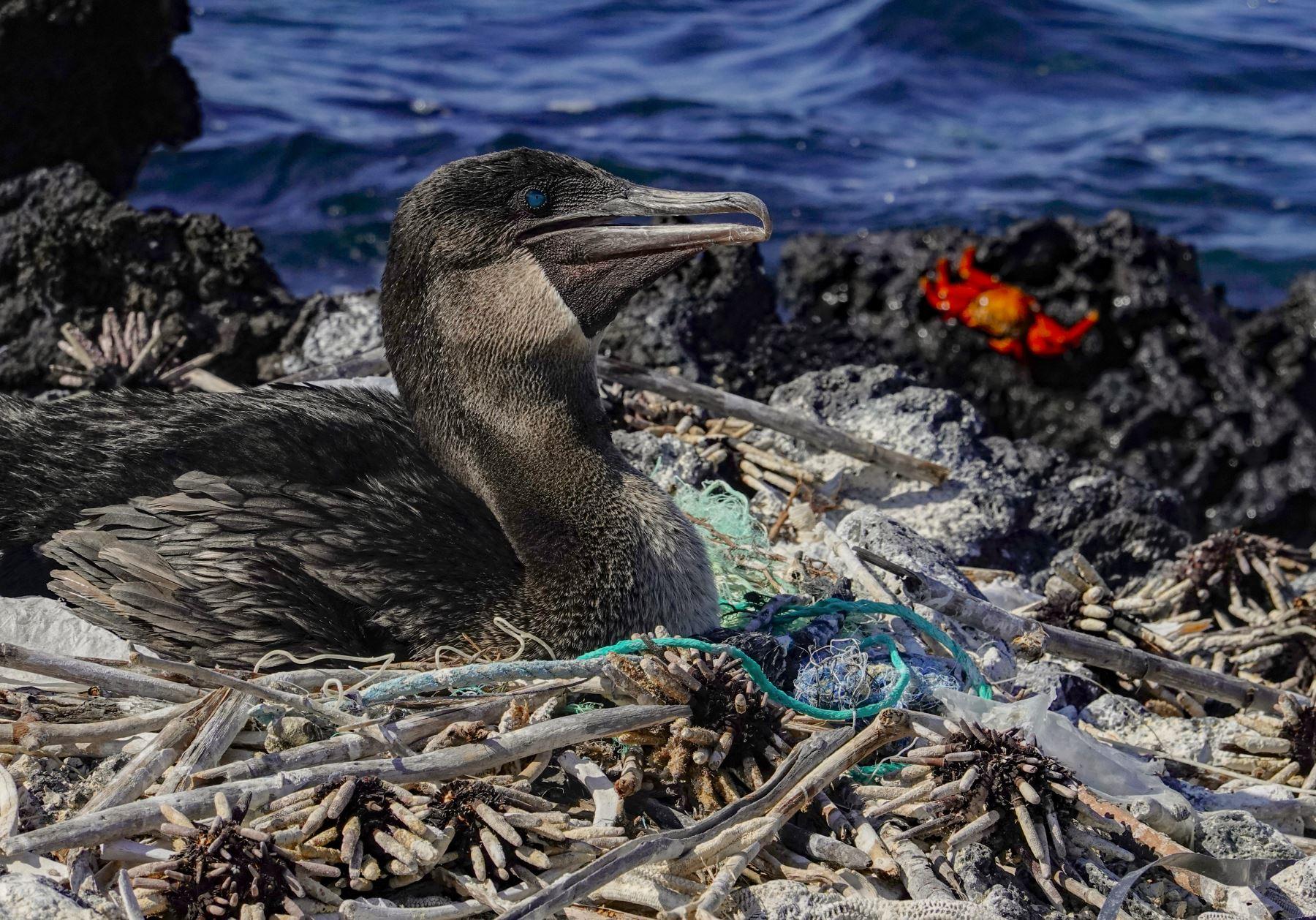 Un cormorán no volador (Nannopterum harrisi) se sienta en su nido rodeado de basura en la costa de la Isla Isabela en el Archipiélago de Galápagos en el Océano Pacífico, a 1000 km de la costa de Ecuador.Foto:AFP