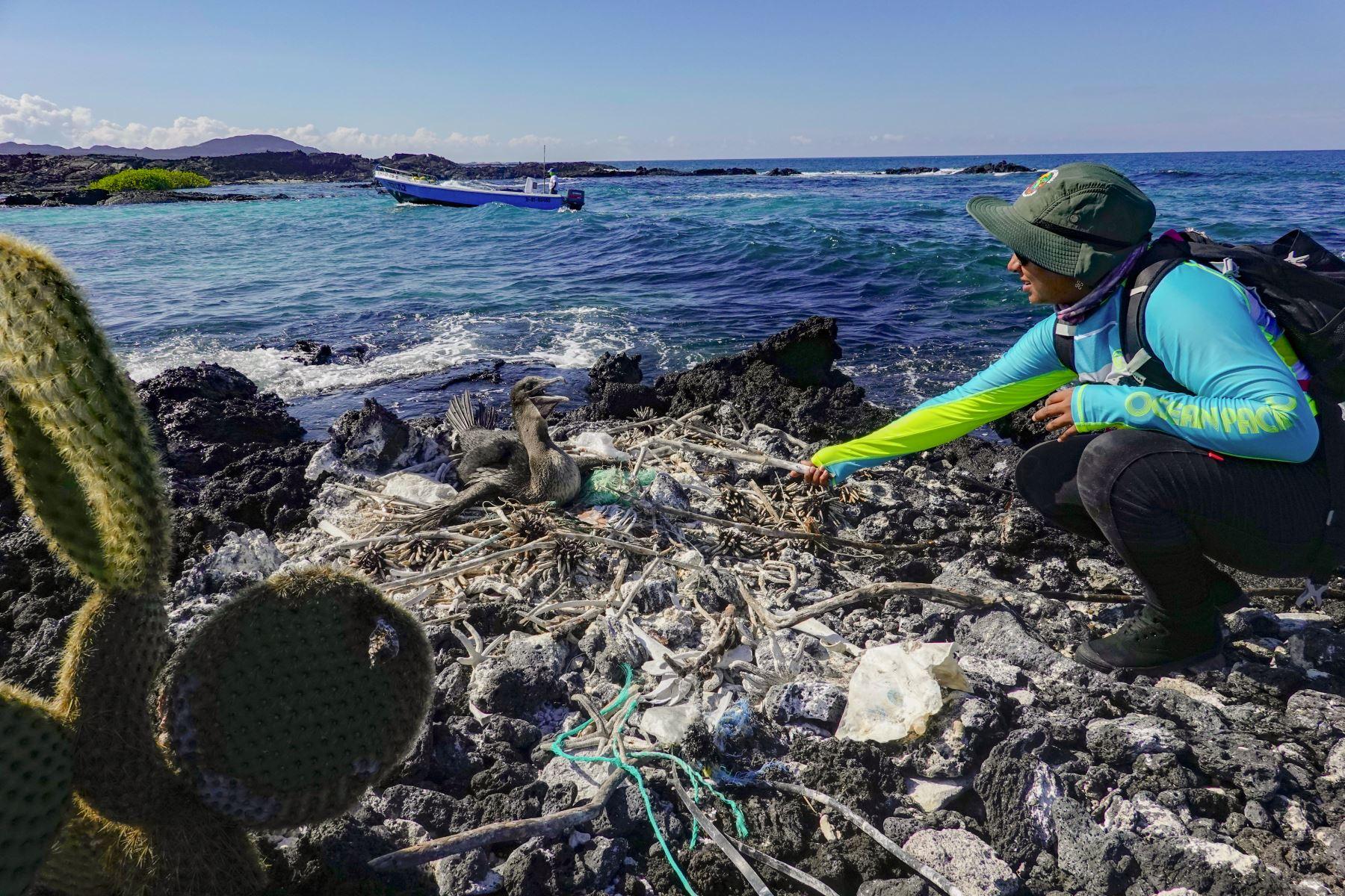 La bióloga y guardabosques del Parque Nacional Galápagos, Jennifer Suárez, recolecta la basura de un nido de un cormorán no volador (Nannopterum harrisi) en la costa de la Isla Isabela en el Archipiélago de las Galápagos en el Océano Pacífico, a 1000 km de la costa de Ecuador.Foto:AFP