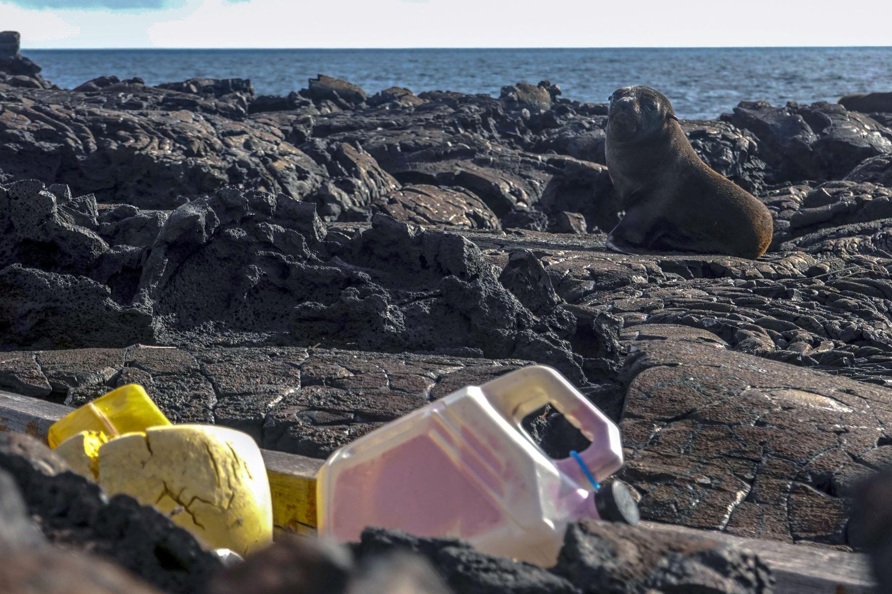 Un lobo marino de Galápagos (Arctocephalus galapagoensis) descansa cerca de una franja de basura en la costa de la Isla Isabela en el Archipiélago de Galápagos en el Océano Pacífico a 1000 km de la costa de Ecuador.Foto:AFP
