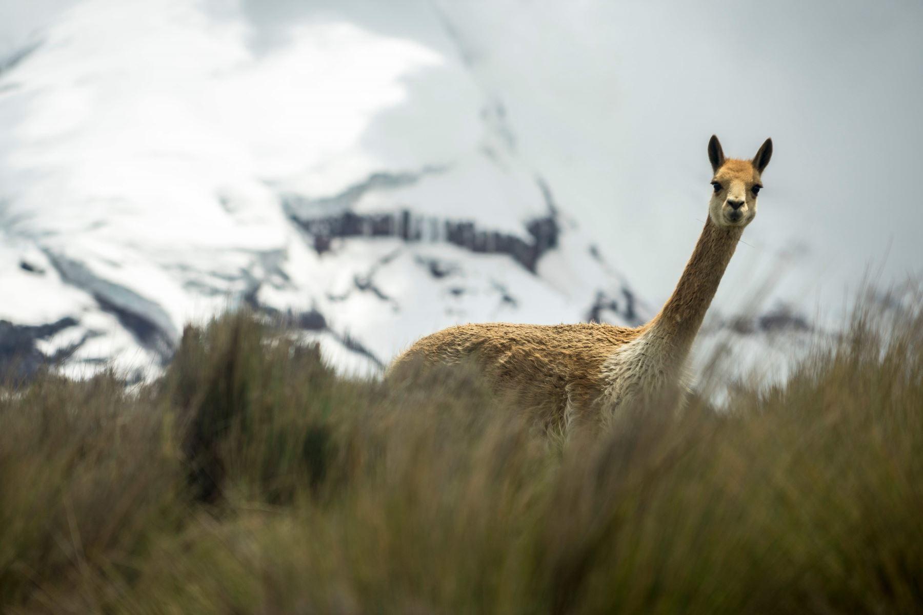 Chimborazo, Ecuador: Una vicuña vaga al pie del volcán Chimborazo, en los Andes centrales de Ecuador. Foto: AFP.