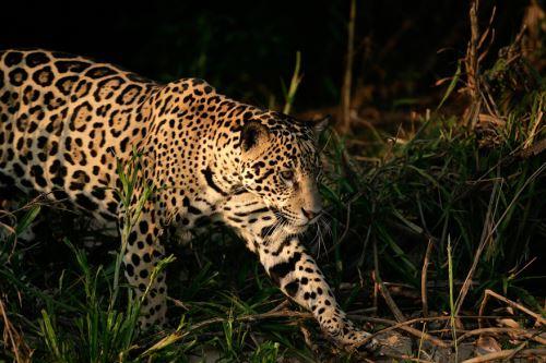 Hoy se celebra el Día Internacional del Jaguar, conoce más sobre este felino, llamado también otorongo en el Perú. ANDINA/Difusión