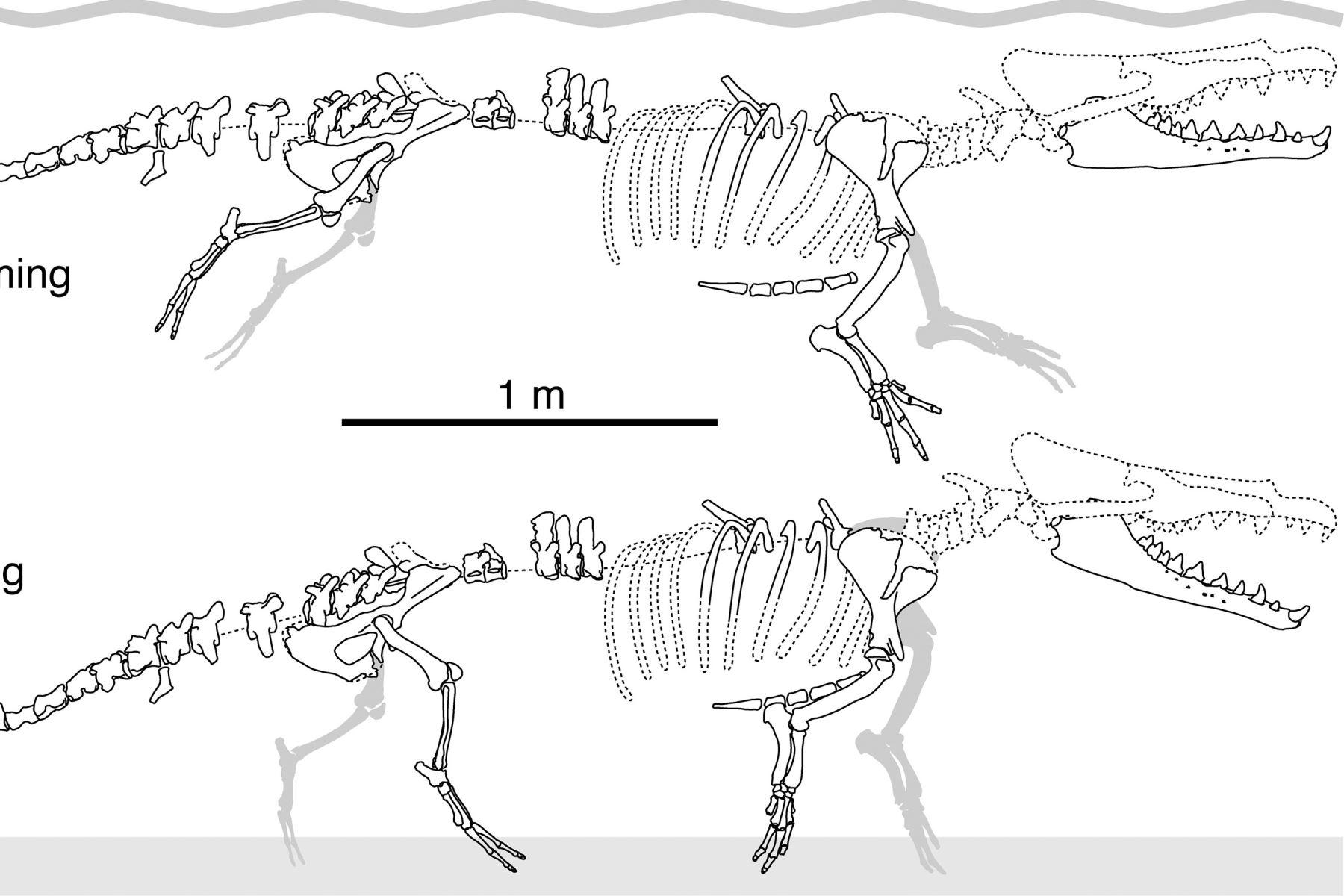 """Diagrama que muestra algunas piezas recuperadas del esqueleto de """"Peregocetus pacificus"""", descubierto en Perú, y como nadaba y caminaba. Foto: Revista especializada Current Biology."""