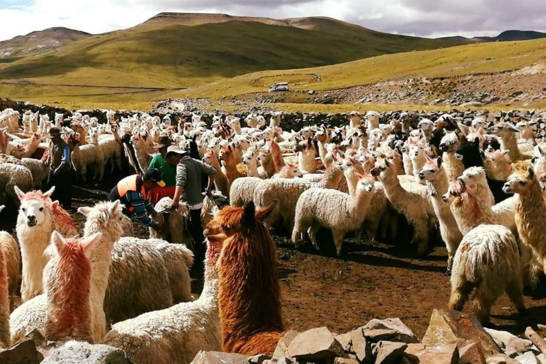 Criadores de alpaca de Apurímac se preparan para enfrentar las heladas. ANDINA/Difusión
