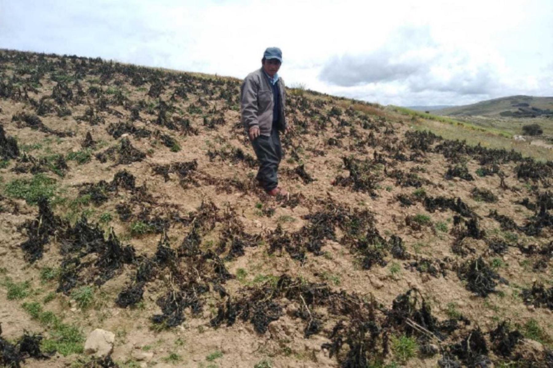 A causa de intensas heladas, los agricultores del distrito de Pucará, en la provincia de Huancayo, (Junín); y de Pazos en la provincia de Tayacaja (Huancavelica), sufrieron cuantiosas pérdidas económicas, hecho que los ha sumido en una dramática situación.