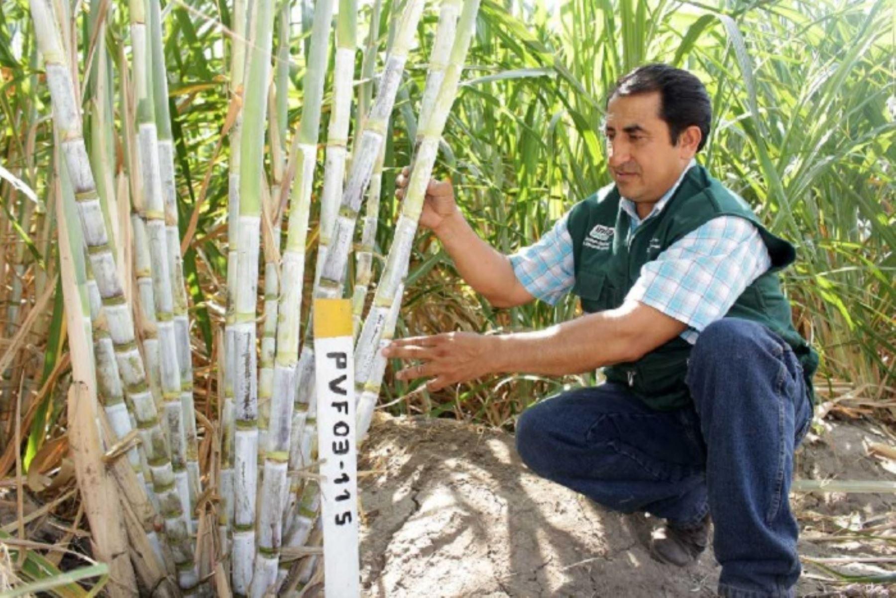 Más de mil productores agrarios de caña de azúcar para panela orgánica granulada de los valles interandinos de las regiones de Piura, Lambayeque, Cajamarca y La Libertad, podrán mejorar los niveles de producción y productividad de sus cultivos a través de la adopción de nuevas técnicas de manejo agronómico, promovidas por el Instituto Nacional de Innovación Agraria (INIA) del Ministerio de Agricultura y Riego (Minagri).