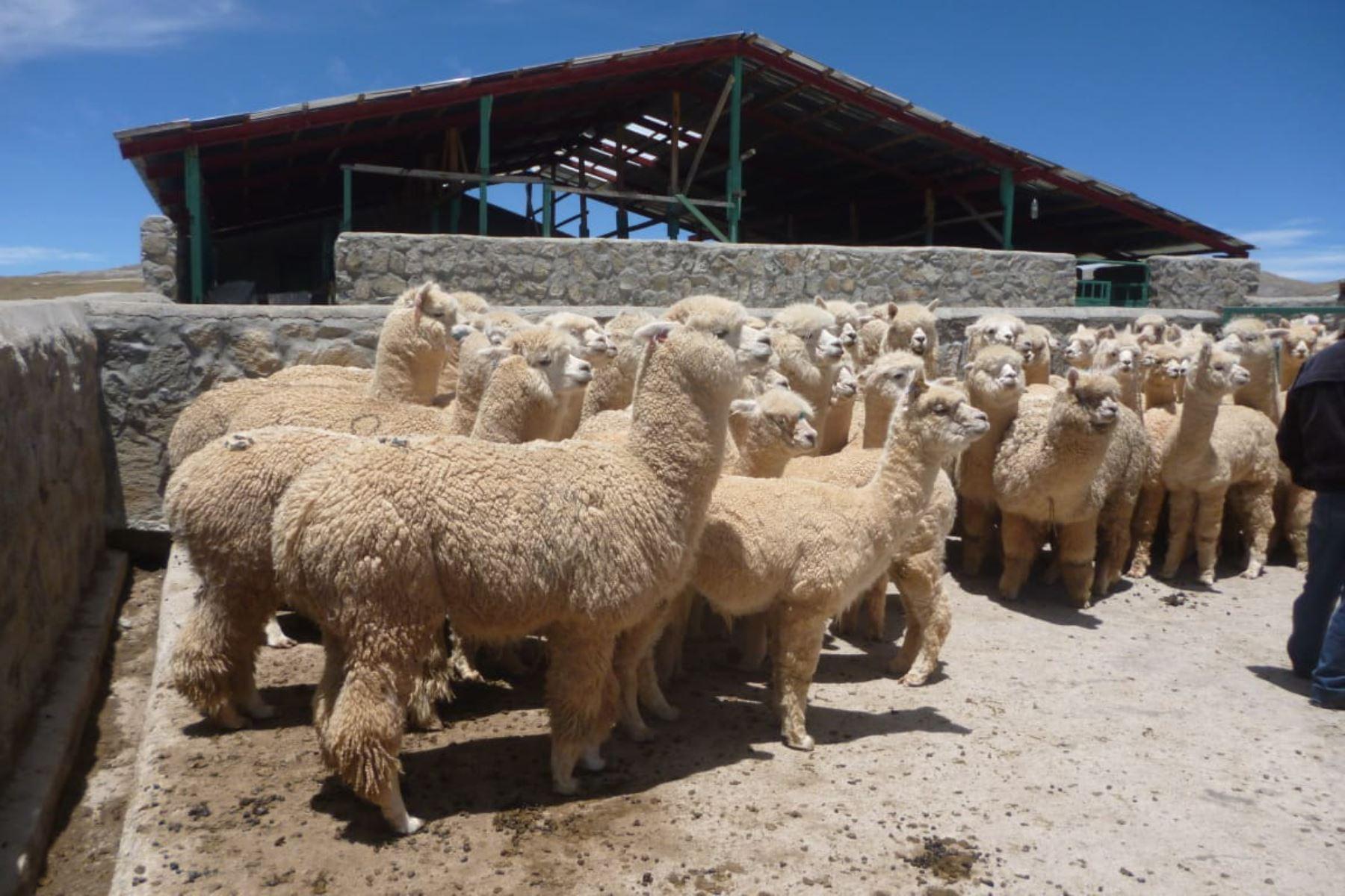 Ministerio de Agricultura y Riego implementará cobertizos para proteger a alpacas y ovinos de las heladas y bajas temperaturas. ANDINA/Difusión