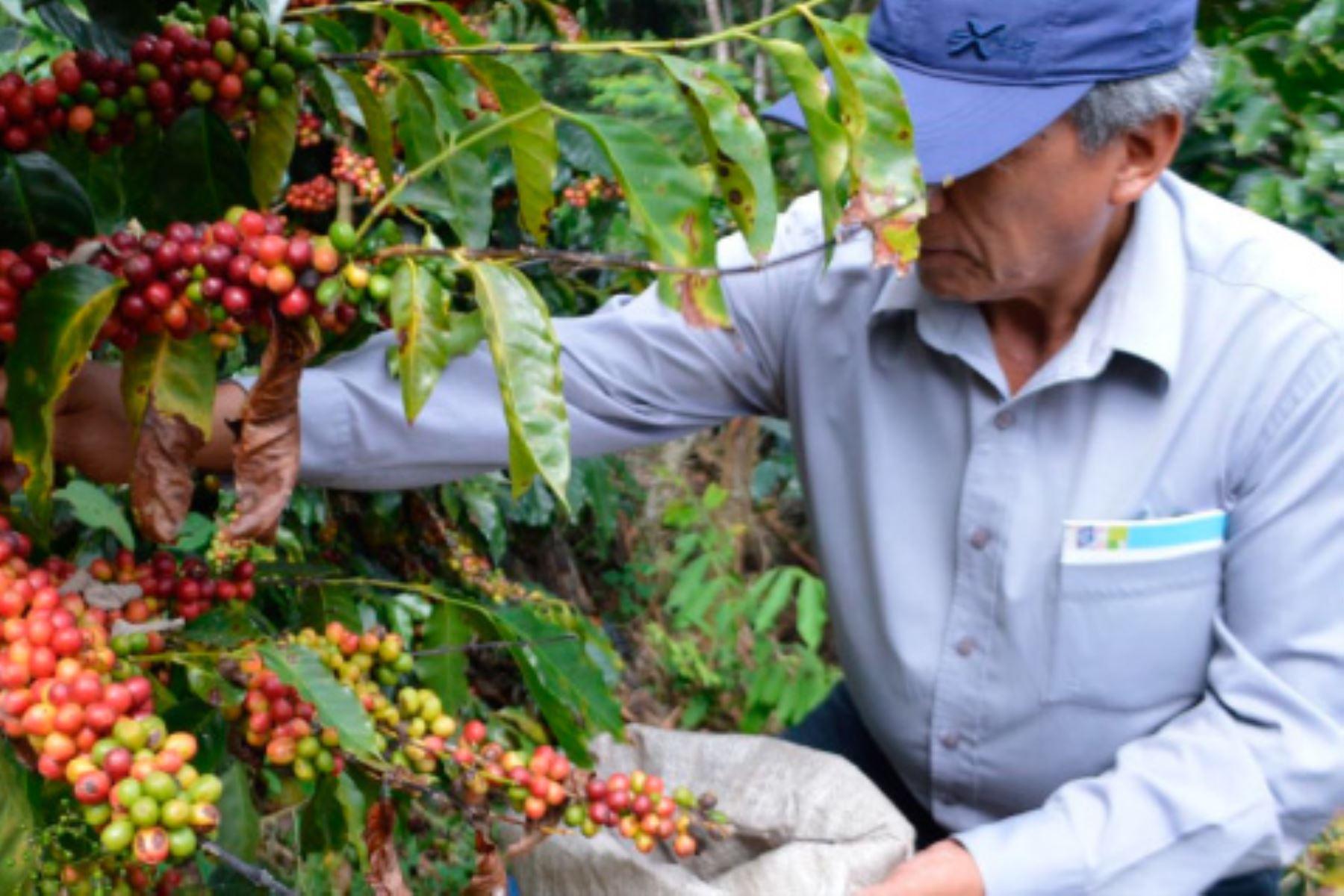 San Martín: 6,000 agricultores se beneficiarán con mejora de cadena del café