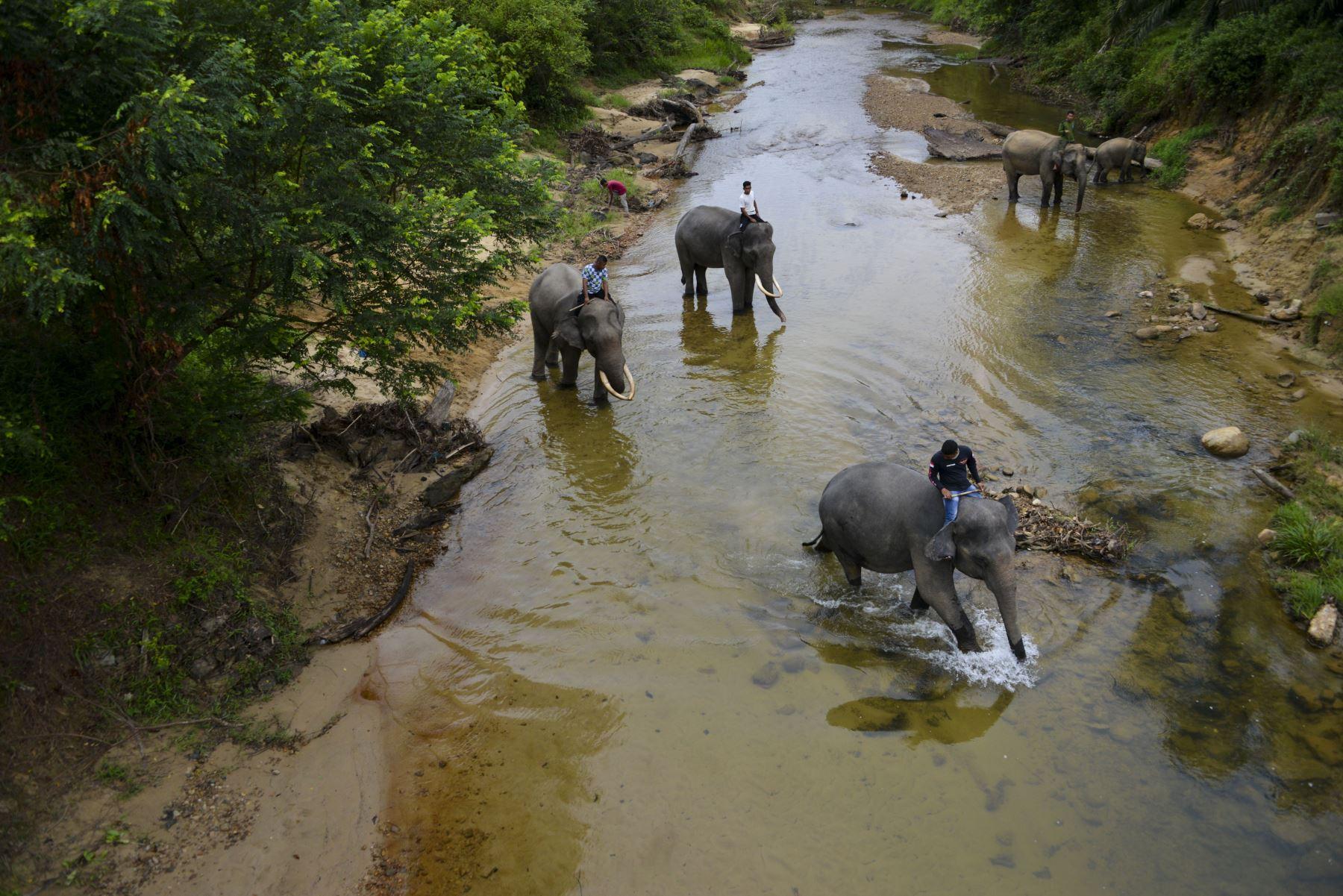 Los mahouts de Indonesia bañan elefantes de Sumatra en el río Trumon. Foto: AFP