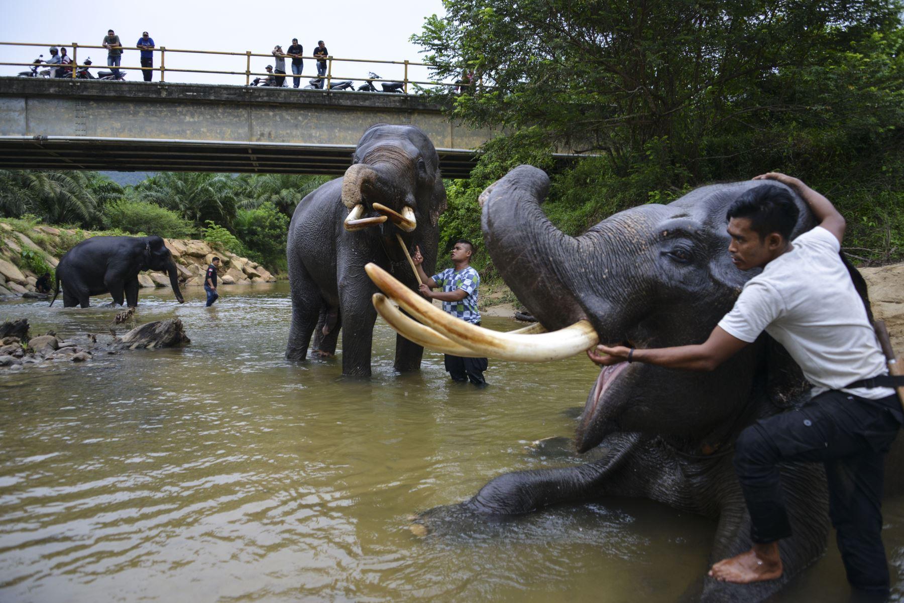 Mahouts de Indonesia bañan elefantes de Sumatra en el río Trumon. Foto: AFP