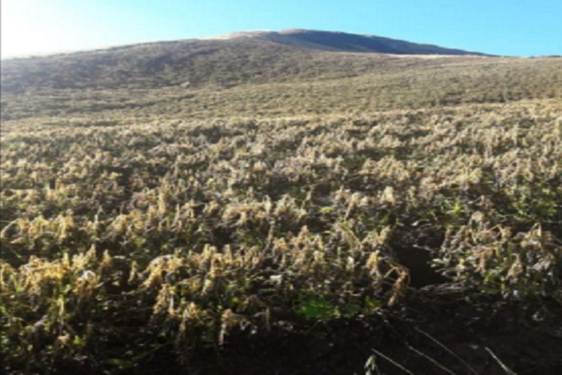 Las fuertes heladas afectaron 10 hectáreas de cultivos (papa, olluco y oca), en el distrito de Ranracancha, provincia de Chincheros, región Apurímac, informó el Instituto Nacional de Defensa Civil (Indeci).