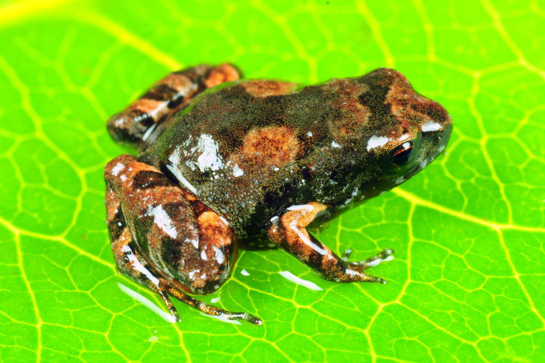 Descubren nueva especie de rana en los bosques nublados de Puno. Foto: Alessandro Catenazzi/Cortesía