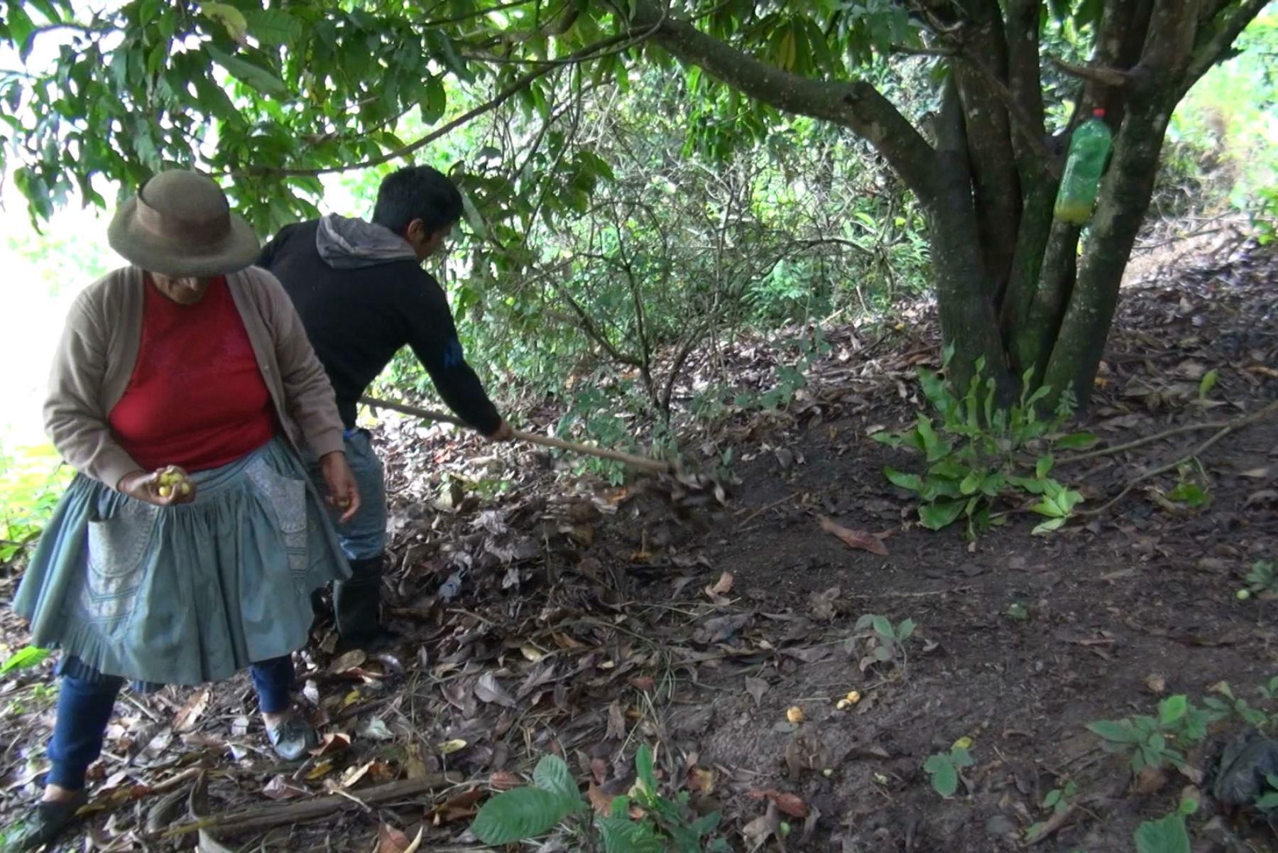 Intensifican campaña para combatir plaga de la mosca de la fruta en Junín.