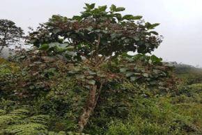 Un notable plan de repoblamiento del árbol de la quina, especie emblemática del Perú que representa al reino vegetal en el Escudo Nacional, ha puesto en marcha el Ministerio de Agricultura y Riego (Minagri), a través de Agro Rural, en 10 departamentos del país. El objetivo es reforestar 145 hectáreas hasta el año 2022. ANDINA/Difusión