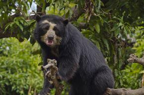 El oso de anteojos, u oso andino, es una de las especies amenazadas de fauna silvestre del Perú. ANDINA/Difusión