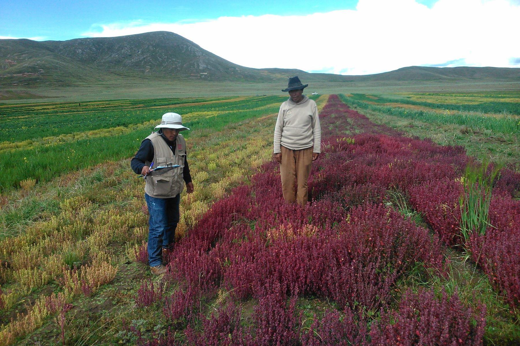 ANDINAAgricultores de Puno apuestan por la quinua orgánica para combatir anemia y desnutrición infantil; además de obtener mayores ingresos económicos. ANDINA