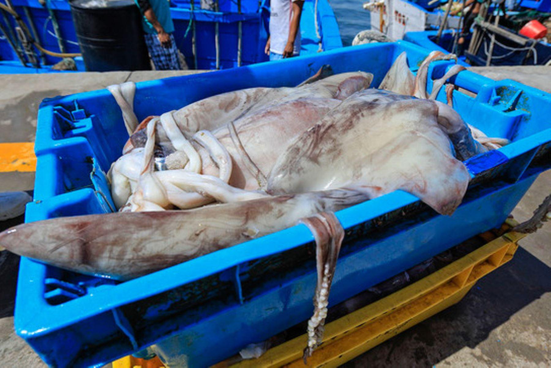 Calamar gigante. ANDINA/Difusión