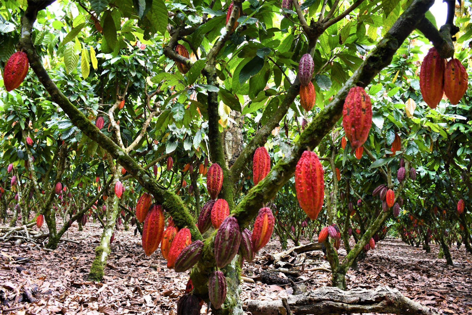 El cacao es uno de los cultivos que corren más peligro por el déficit de lluvias y fuerte calor que afecta a la región San Martín. ANDINA/Difusión