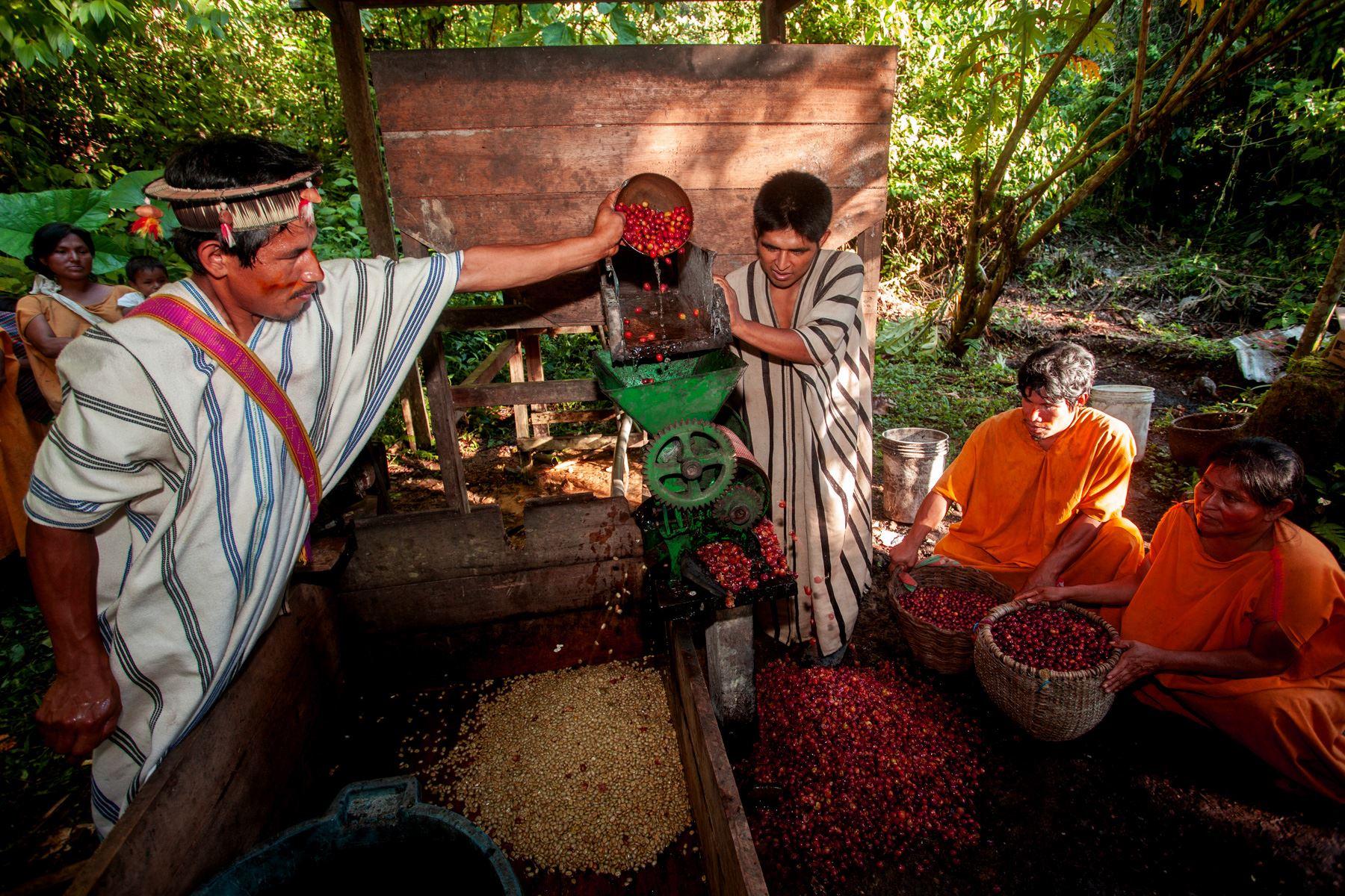 Comunidades indígenas del Vraem se especializan en la producción de cafés especiales. ANDINA/Difusión