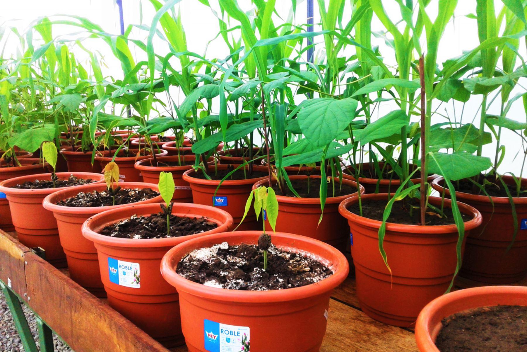 Así trabaja la región San Martín para reducir los niveles de cadmio en el cacao. ANDINA/Difusión